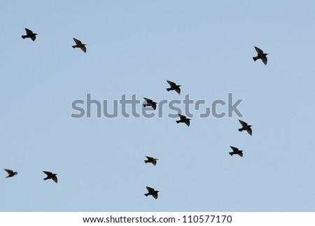 Common starling, Sturnus vulgaris - stock photo