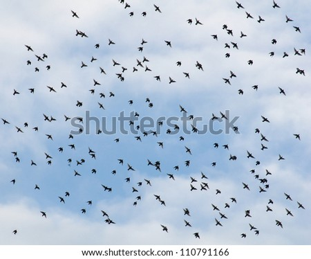 Common starling, Sturnus vulgaris