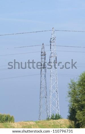 Common starling, Sturnus vulgaris