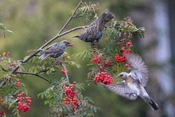 Common starlings sits on a rowan branch. Red rowan berrie in birds' beak. Fieldfare fly to delicious berries. There are many bunch ripe red berries on the tree. Wild birds on autumn nature.