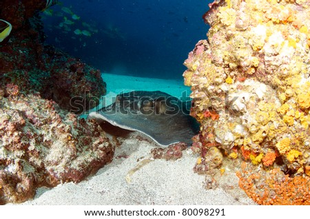 Common Stingray - stock photo