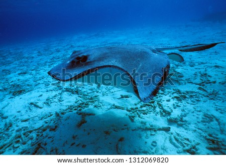 Common stingray in sea of Cayman Islands