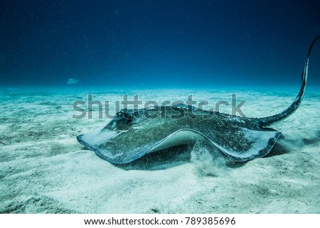 Common Stingray swimming on the ground of the ocean.