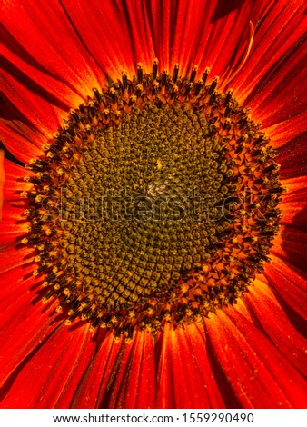 Common sunflower (Helianthus annuus) is a large annual forb of the genus Helianthus grown as a crop for its edible oil and edible fruits.