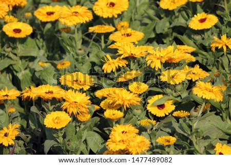 Common sunflower. the common sunflower, is a large annual forb of the genus Helianthus grown as a crop for its edible oil and edible fruits.