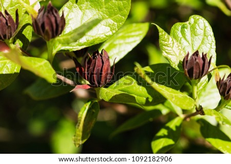 Common sweetshrub (Calycanthus floridus in latin) in Berlin Botanic Garden, Germany. Floral background.