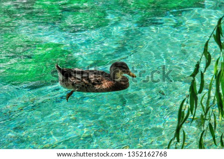 Common teal or Eurasian teal (Anas Crecca). Bird of the Anatidae family and is part of the avifauna of many Italian lakes. #1352162768