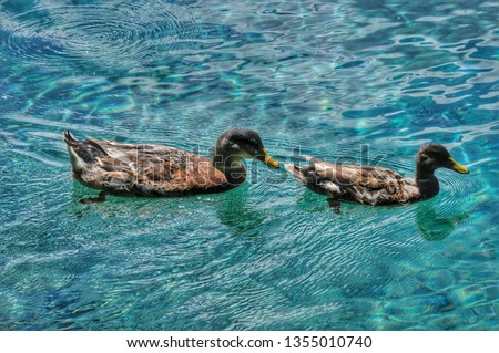 Common teal or Eurasian teal (Anas Crecca). Bird of the Anatidae family and is part of the avifauna of many Italian lakes. #1355010740