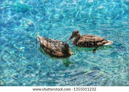 Common teal or Eurasian teal (Anas Crecca). Bird of the Anatidae family and is part of the avifauna of many Italian lakes. #1355011232