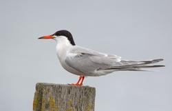 Common Tern, arctic tern