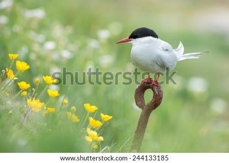 Common Tern, arctic tern on rusty iron