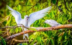 Common Tern flies in the sky of Addu City