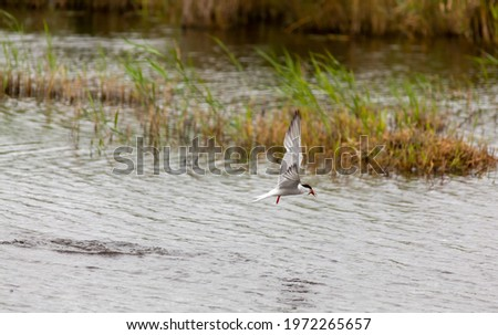 Common tern in flight over a lake carrying a fish in its beak. Stockfoto ©