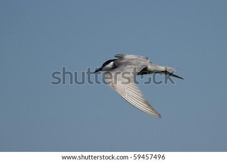 Common Tern in flight ,Sterna hirundo - stock photo