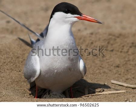 Common tern,Sterna hirundo