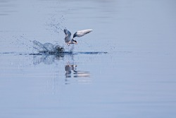 Common tern (Sterna hirundo) diving at full speed in a lake to hunt for small fish in Germany.