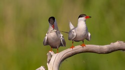 Common Tern  - two adult birds at a wetland near the nest
