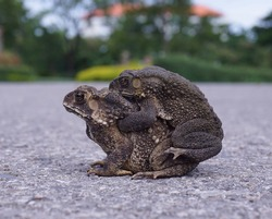 Common, Thailand toad or simply the toad on the ground.