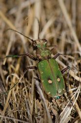 Common tiger beetle (Cicindela maroccana). Monfrague National Park. Caceres. Extremadura. Spain.
