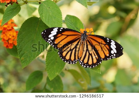 Common Tiger (Danaus genutia)   butterfly seeking nectar on Ziziphus oenoplia blossom with natural green background, Orange  with white and black color pattern on wing of  Monarch butterfly