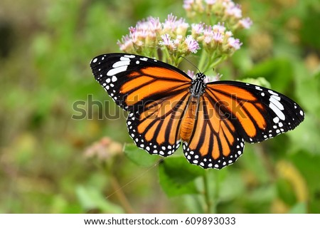 Common Tiger, Danaus genutia, Orange  with white and black color pattern on insect wing, Monarch butterfly seeking nectar on flower in the field with natural green background, Thailand