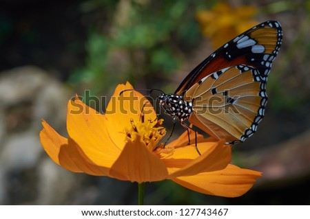 Common Tiger (Danaus genutia) sits on a plant