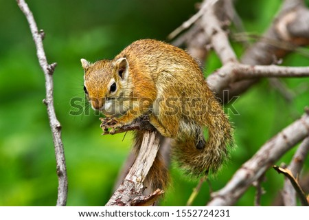 Common to Southern Tanzania the Tree or Smith's Bush Squirrel  These small members of the squirrel family are noisy denizen's of the bush, often giving birds and mammals warning of predator threat #1552724231