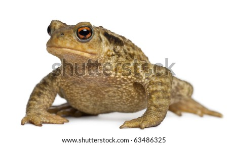 Common toad, bufo bufo, in front of white background