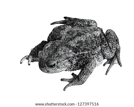 Common toad Bufo bufo over white