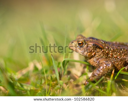 Common toad (Bufo bufo) side view with very shallow depth of field