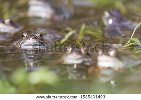 Common Toad,European Toad,bufo bufo. European Toad in natural enviroment