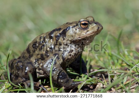Common Toad in long green grass/Toad/Common Toad (Bufo Bufo)