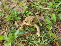 common toad is an amphibian Living at dusk. Grayish brown skin covered with wart-like nodules.