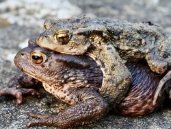 Common toad mating in the early spring. The common toad, European toad, or in Anglophone parts of Europe, simply the toad, is an amphibian found throughout most of Europe.