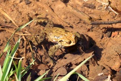 Common toad or European toad, Bufo bufo, in the shallow water