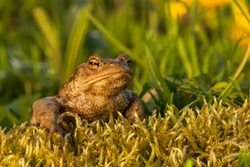 Common toad sitting on the moss