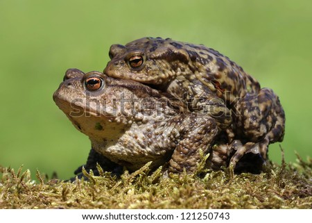 Common Toads (Bufo bufo) mating.