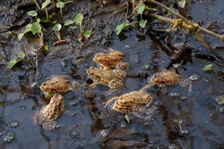 Common toads - many males waiting for female