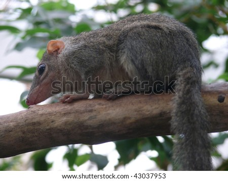 common tree-shrew