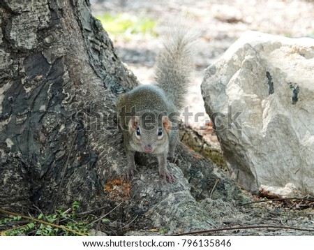 common treeshrew (Tupaia glis) on tree root looking at camera. Tree shrews or banxrings are small mammals, look like squirrel and rat native to the tropical forests of Southeast Asia. #796135846