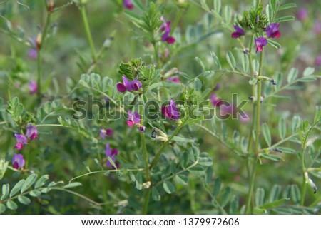 Common vetch flowers (Vicia sativa)