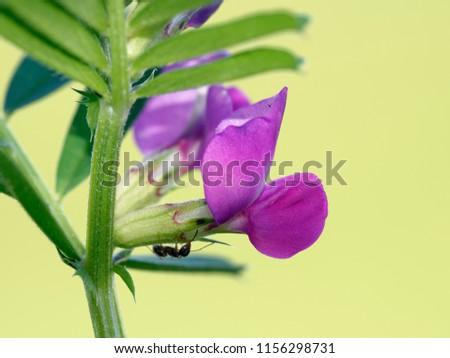 Common Vetch - Vicia sativa with Black Ant