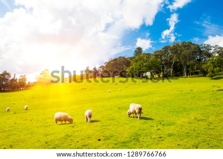 Common view in the New Zealand - sun shining over hills covered by green grass with herds of sheep