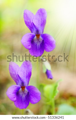 Common Violet (Viola odorata) is commonly used as remedy to cure sore throat and tonsilitis. Violet syrup is used to make violet scones and marshmallows. Close up with shallow dof.
