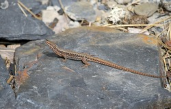 Common wall lizard (Podarcis miuralis) is a species of lizard with a large distribution in Europe. A specimen of the Cantabrian range, Spain