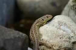 common wall lizard podarcis muralis Reptile Close up Portrait