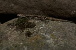 common wall lizard podarcis muralis Reptile Close up Portrait Clear