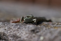 common wall lizard podarcis muralis Reptile Close up Portrait Clear. High quality photo