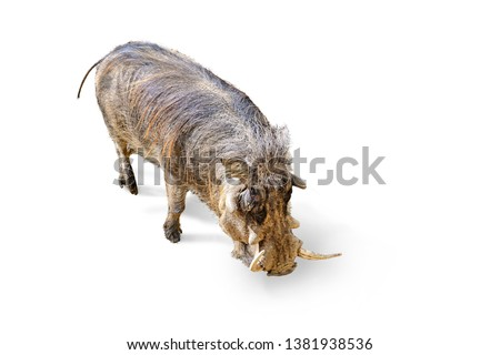 common warthog, phacochoerus africanus. Location: Namibia, Botsuana, Zimbabwe, and Natal in Africa. A sensitive snout that's wide and flat helps these hogs find food hidden under the soil.