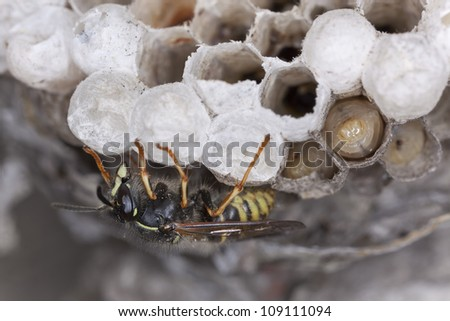 Common wasp, Vespula vulgaris and larva on wasp's nest, photographed with high magnification